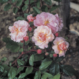 Close-Up of Cornelia Roses Photographic Print by A. Moreschi
