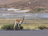 Side Profile of a Guanaco Standing in a Field, Atacama Region, Chile (Lama Guanicoe) Photographic Print by C. Dani I. Jeske