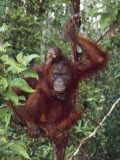Bornean Orangutan in a Forest, Tanjung Puting National Park, Central Kalimantan Photographic Print by C. Dani I. Jeske