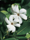 Close-Up of Tahitian Gardenia Flowers, French Polynesia (Gardenia Taitensis) Photographic Print by C. Dani I. Jeske