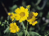 Close Up of Yellow Wild Flowers, New Mexico, Usa Photographic Print by Alex Adams