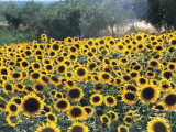 High Angle View of Sunflowers in a Field, Assisi, Umbria, Italy (Helianthus Annuus) Photographic Print by C. Sappa