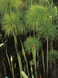 Cyperus Papyrus, Close-up of Green Foliage, September, Photographic Print
