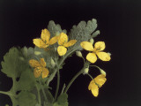 Close-Up of a Greater Celandine (Chelidonium Majus) Photographic Print by C. Delu