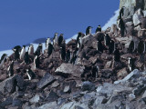 Group of Chinstrap Penguin on Rocks, Half Moon Island, Antarctica (Pygoscelis Antarctica) Photographic Print by C. Dani I. Jeske