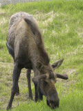 Alaska, Anchorage, a Young Bull Grazes Near the Airport Photographic Print by Bill Roth