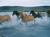 A Group of Icelandic Horses Running across a River Photographic Print by Anna Fjola Gisladottir