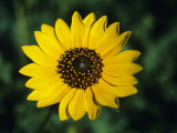 Close Up of Sunflower, Western Texas, Texas, Usa Photographic Print by Alex Adams