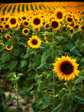 Field of Sunflowers Photographic Print by Abbie Brown