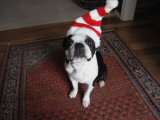 Merry Christmas Dog Photographic Print by Cj Rachford