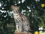 Margay Sitting on a Tree Stump (Leopardus Wiedii) Photographic Print by  C. Dani/ I. Jeske