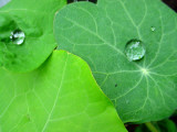 Nasturtium with Waterdrops Photographic Print by Claudia Probst