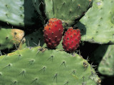 Close-Up of a Cactus Plant (Opuntia Ficus-Indica) Photographic Print by R. Carnovalini