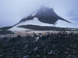 Group of Gentoo Penguins on a Landscape, Yankee Harbor, Greenwich Island, Antarctica Photographic Print by C. Dani I. Jeske