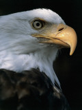 Close-Up of a Bald Eagle, Alaska, Usa (Haliaeetus Leucocephalus) Photographic Print by M. Santini