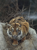 Close-Up of a Sumatran Tiger, Indonesia (Panthera Tigris Sumatrae) Photographic Print by C. Dani I. Jeske