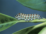 Close-Up of a Swallowtail Caterpillar on a Leaf (Papilio Machaon) Photographic Print by Christian Ricci