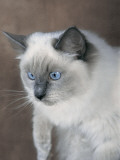 Close-Up of a Blue Bicolor Ragdoll Cat Photographic Print by D. Robotti