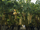 Close-Up of Bunches of Grapes in a Vineyard, Canosa Di Puglia, Bari, Puglia, Italy Photographic Print by R. Carnovalini