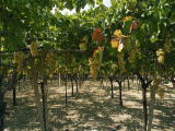 Grape Plants in a Vineyard, Canosa Di Puglia, Bari, Puglia, Italy Photographic Print by R. Carnovalini