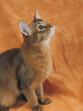 Close-Up of a Somali Cat Photographic Print by D. Robotti