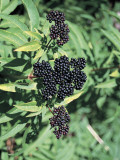 Close-Up of Elderberries on a Tree (Sambucus Nigra) Photographic Print by P. Puccinelli