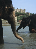 Asian Elephants Bathing in River with Red Fort in Background Fotografie-Druck von Ami Vitale