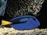 Close-Up of a Surgeonfish Swimming Underwater (Paracanthurus Hepatus) Photographic Print by C. Dani