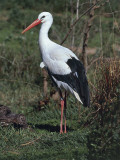 Close-Up of a White Stork (Ciconia Ciconia) Photographic Print by C. Dani I. Jeske
