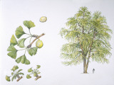 Maidenhair Tree (Ginkgo Biloba) Plant with Flower, Leaf and Seed, Illustration Photographic Print