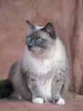 Close-Up of a Blue Mitted Ragdoll Cat Photographic Print by D. Robotti