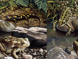 Two Frogs and Salamander by Water, Illustration Photographic Print