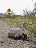 California, Death Valley, a Desert Tortoise Walks Along the Road Leading to Dante's View Photographic Print by Brian Schultz