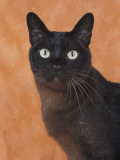 Close-Up of a Brown Burmese Cat Photographic Print by D. Robotti