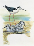 Close-Up of a Black-Winged Stilt with its Chicks (Himantopus Himantopus) Photographic Print