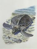 Close-Up of a Green Turtle on the Beach (Chelonia Mydas) Photographic Print