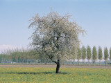 Apple Tree on a Landscape (Malus Pumila) Photographic Print by R. Sacco