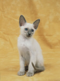 Close-Up of a Blue Point Siamese Kitten Photographic Print by D. Robotti