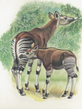 Close-Up of Okapi (Okapia Johnstoni) Photographic Print