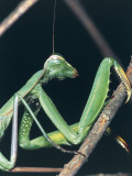 Close-Up of a Praying Mantis on a Stem (Mantis Religiosa) Photographic Print by Christian Ricci