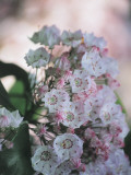 Close-Up of Mountain Laurel Flowers, Arboretum Kalmthout, Kalmthout, Belgium (Kalmia Latifolia) Photographic Print by F. Carassale