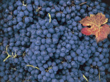 Close-Up of Sangiovese Grapes, Montalcino, Siena, Tuscany, Italy Photographic Print by V. Giannella