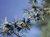 Close-Up of Fruits on a Branch of a Juniper Tree (Juniperus Communis) Photographic Print by P. Puccinelli
