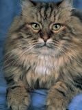 Close-Up of a Brown Tabby Cat Photographic Print by D. Robotti