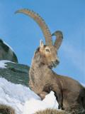 Close-Up of an Alpine Ibex, Gran Paradiso National Park, Valle D'Aosta, Italy (Capra Ibex ) Photographic Print by F. Liverani