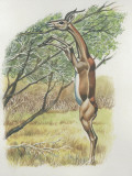 Close-Up of a Gerenuk Reaching for a Tree (Litocranius Walleri) Photographic Print