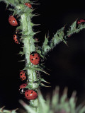 Seven Spot Ladybirds on a Stem (Coccinella Septempunctata) Photographic Print by Christian Ricci