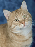 Close-Up of a Red Mackerel Tabby Cat Photographic Print by D. Robotti