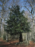 English Yew in a Forest (Taxus Baccata) Photographic Print by P. Puccinelli