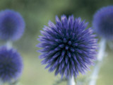 Close-Up of a Sea Holly Flower (Eryngium Maritimum) Photographic Print by V. Giannella